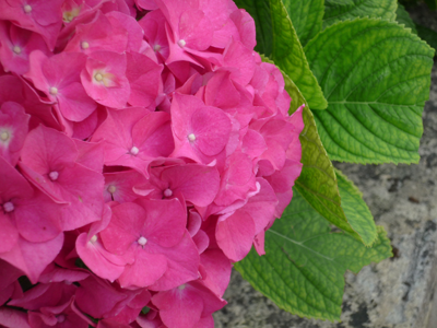 Hydrangea Revolution (Ajisai Kakumei in Japanese) in Japan
