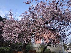 Sakura tree superbly ignores COVID19