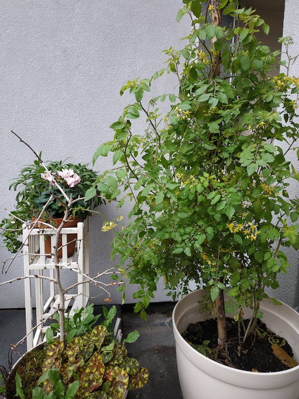 Tomato tree in Luxembourg